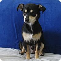 Adopt A Pet :: Murphy - Tumwater, WA