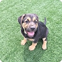 Adopt A Pet :: Beau - Tustin, CA