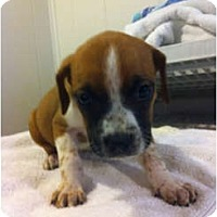 Adopt A Pet :: Ziva - Alexandria, VA