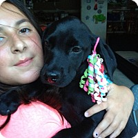 Adopt A Pet :: Black Lab Baby - Marlton, NJ