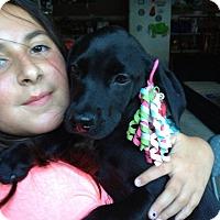 Adopt A Pet :: Black Lab Baby - Marlton, NJ