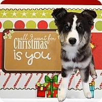 Adopt A Pet :: Cellie - Kirkland, WA