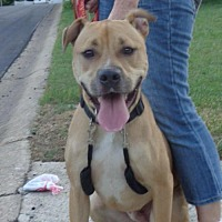 Boxer/Pit Bull Terrier Mix Dog for adoption in Loganville, Georgia - Bradley