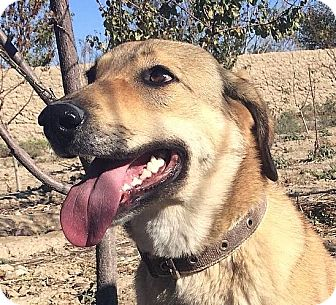 Shepherd (Unknown Type)/Labrador Retriever Mix Dog for adoption in Surrey, British Columbia - Mozi