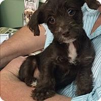 Adopt A Pet :: Chestnut - Thousand Oaks, CA