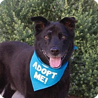 Labrador Retriever/Shepherd (Unknown Type) Mix Dog for adoption in Pacific Grove, California - Barney