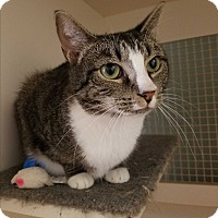 Domestic Shorthair Cat for adoption in Cary, North Carolina - Sadie