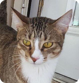 British Shorthair Cat for adoption in Miami, Florida - Lucy