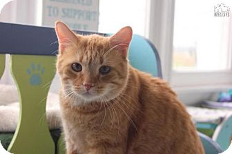 Domestic Shorthair Cat for adoption in Troy, Illinois - Rodeo