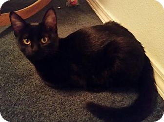 Domestic Shorthair Kitten for adoption in Battle Ground, Washington - Purdita