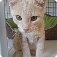 Domestic Shorthair Kitten for adoption in Bryson City, North Carolina - Miles