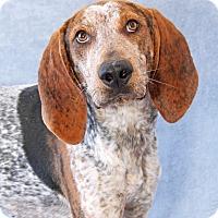 English (Redtick) Coonhound Mix Dog for adoption in Encinitas, California - Clark