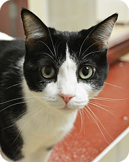 Domestic Shorthair Cat for adoption in Springfield, Illinois - Blossom