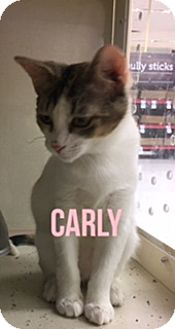 American Shorthair Kitten for adoption in Glendale, Arizona - CARLY