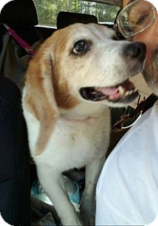 Beagle Mix Dog for adoption in Waldorf, Maryland - Snoopy