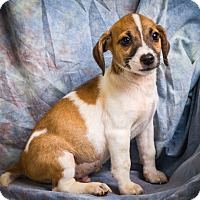 Jack Russell Terrier/Chihuahua Mix Puppy for adoption in Anna, Illinois - JACE