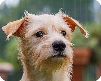 Terrier (Unknown Type, Medium) Mix Puppy for adoption in Dallas, Texas - Maggie