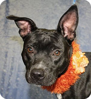 Pit Bull Terrier Mix Dog for adoption in Jackson, Michigan - Jay