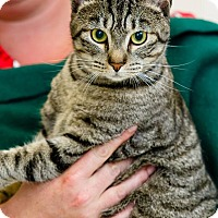 Domestic Shorthair Cat for adoption in Windsor, Virginia - Casey