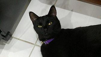 Domestic Shorthair Cat for adoption in Hampton, Virginia - Mickey 2