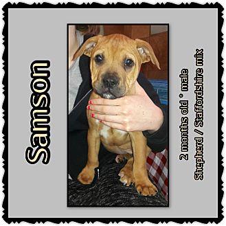 Shepherd (Unknown Type)/American Staffordshire Terrier Mix Puppy for adoption in Richmond, California - Samson