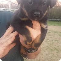 Adopt A Pet :: Clara - Trenton, NJ