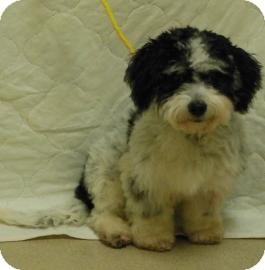 Poodle (Miniature) Puppy for adoption in Gary, Indiana - Lenny
