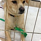 Adopt A Pet :: Goldie