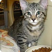 Domestic Shorthair Kitten for adoption in Miami, Florida - Georgie