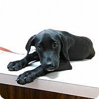 Adopt A Pet :: Paul Revere - Gainesville, FL