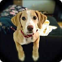 Adopt A Pet :: Sage - Stamford, CT