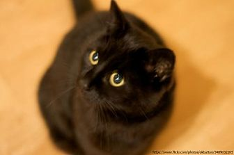 Domestic Shorthair Cat for adoption in Trenton, New Jersey - Robin