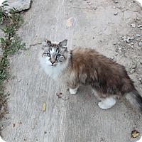 Ragdoll Cat for adoption in corinne, Utah - Linous