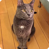 Adopt A Pet :: Lord Grey, Russian Blue Sweetheart - Brooklyn, NY