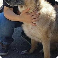 Adopt A Pet :: Lizzie - Gainesville, FL
