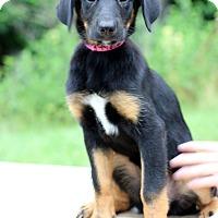 Adopt A Pet :: Indigo - Waldorf, MD