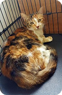 Domestic Shorthair Cat for adoption in Livingston, Texas - Punkin