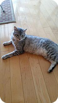 Domestic Mediumhair Cat for adoption in Los Angeles, California - Zeke