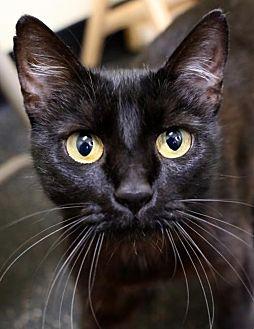 Domestic Shorthair Cat for adoption in Roseville, California - Lil Kim