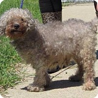 Poodle (Miniature) Mix Dog for adoption in Newport, Kentucky - Merlin