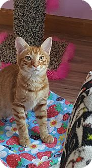 Domestic Shorthair Kitten for adoption in Chattanooga, Tennessee - Neptune