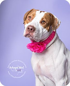 Pit Bull Terrier Mix Dog for adoption in Apache Junction, Arizona - Hannah