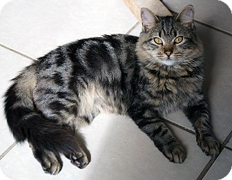 Domestic Longhair Cat for adoption in Maynardville, Tennessee - Jacque
