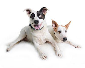 Labrador Retriever/Cattle Dog Mix Dog for adoption in Wilmington, Delaware - Brady (fka Trooper)