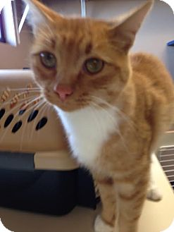 Domestic Shorthair Cat for adoption in Idaho Falls, Idaho - Mufasa