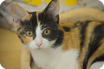 Domestic Shorthair Kitten for adoption in San Leon, Texas - Olivia