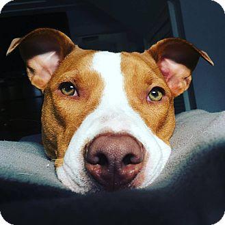 Boxer/Hound (Unknown Type) Mix Dog for adoption in Glastonbury, Connecticut - Kona~meet me!