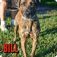 Adopt A Pet :: Bill - Sarasota, FL