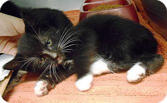 Domestic Shorthair Kitten for adoption in Redding, California - Domino
