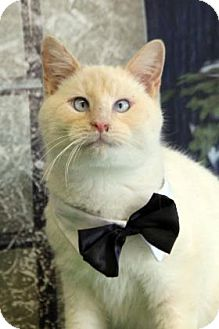 Siamese Cat for adoption in South Bend, Indiana - Firestorm